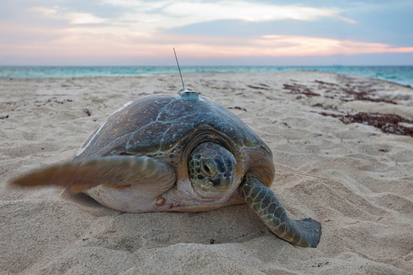 A nesting Green sea turtle bears a satellite tracking device on its shell in Dry Tortugas National Park. (Credit: U.S. Geological Survey)