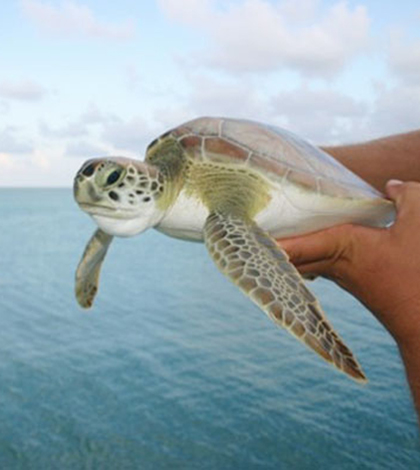 Juvenile Green sea turtle captured August 2008 in the moat at Fort Jefferson, Dry Tortugas National Park. (Credit: Kristen Hart, U.S. Geological Survey)
