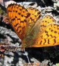Arctic fritillary is one of two species that have become smaller due to climate change. (Credit: Toke T. Hoye)