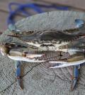 A blue crab. (Credit: Public Domain)