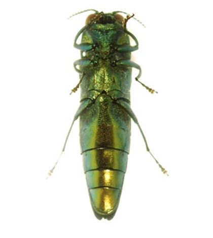 Ventral view of an adult emerald ash borer. (Credit: U.S. Department of Agriculture)