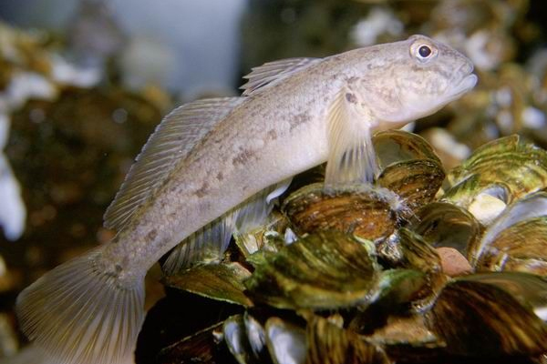 The round goby, an invasive species that served as prey to the formerly endangered Lake Erie watersnake. (Credit: Public Domain)