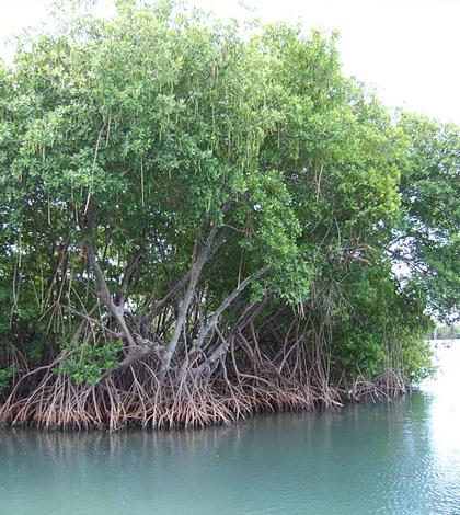 Mangrove. (Credit: Boricuaeddie/CC BY-SA 3.0)