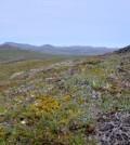Tundra landscape near Nome, Alaska. (Credit: Charles Koven)