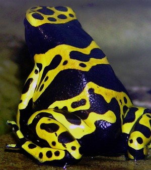 Yellow-banded poison dart frog. (Credit: Adrian Pingstone)