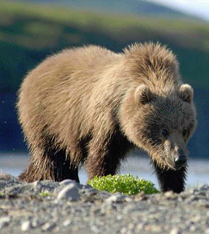 Researchers predict shrinking habitats for Alaskan mammals. (Credit: Carl Chapman/CC BY 2.0)