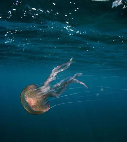 A jellyfish living in high CO2 waters near volcanic seeps in the Mediterranean. (Credit: Jason Hall-Spencer)