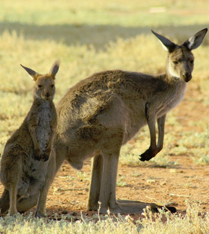 Researchers have found that kangaroos produce methane as part of their digestive process. (Credit: A. Munn / University of Wollongong)