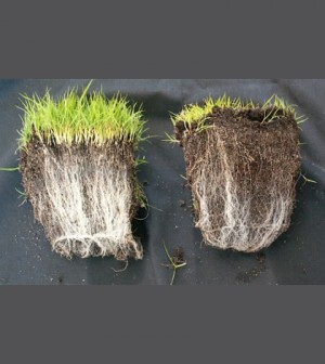 The plant on the left has a beneficial relationship with the mycorrhizal fungi around its roots. (Credit: soilcarboniscool.org)