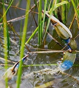 Blue crab preying on marsh periwinkle snail in Florida marshes. (Credit: Brian Silliman)