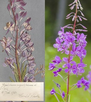 A research group is using plants like fireweed to study carbon dioxide levels. (Credit: Johan Gunséus)