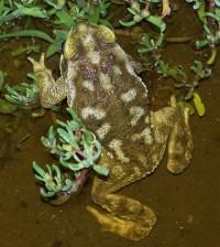 Rhinella arenarum toad. (Credit: Fercarezza via Creative Commons 3.0)