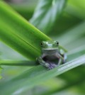 A new study offers some hope for amphibian populations decimated by deadly fungus. (Credit: Tracie Seimon / Wildlife Conservancy Society)