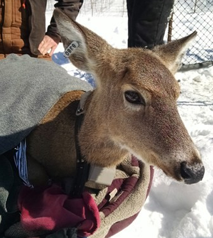 A deer is ear-tagged and outfitted with a GPS collar. (Credit: Duane Diefenbach / Penn State University)