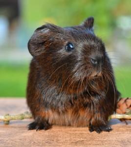 Guinea Pig. (Credit: Public Domain)