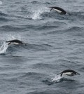 Chinstrap penguins swim in the Southern Ocean. (Credit: Liam Quinn via Creative Commons 2.0)