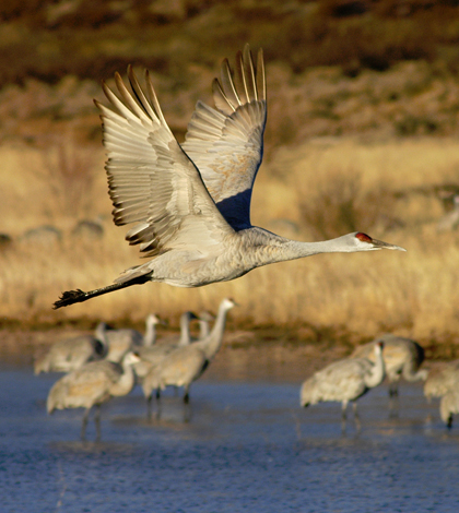 A sandhill crane soars over the water at Bosque del Apache Wildlife Refuge in central New Mexico. (Credit: Darrell J. Pehr / New Mexico State University)