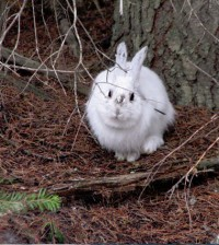 Snowshoe hare wearing its white winter coat in the springtime. (Credit: Dr. L. Scott Mills Research)