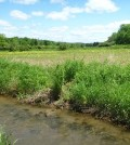 Wetlands are at risk of being degraded or overrun by invasive species. (Credit: Riparia / Penn State)