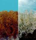 Fire coral before and after bleaching. (Credit: XL Catlin Seaview Survey)