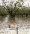 University of California, Davis scientists take full advantage of El Niño rains as they deliberately flood part of an almond orchard outside Modesto, California as part of a groundwater banking experiment. (Credit: Joe Proudman / University of California, Davis)