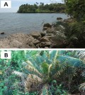 Cycas nitida juvenile plant showing the close proximity to tidal waters in western Samar Island. (Credit: Marler TE, et al)