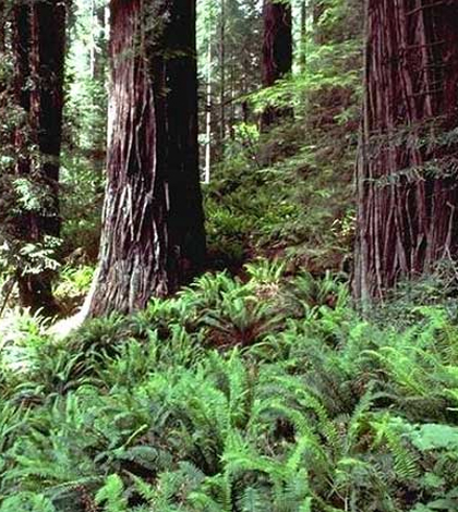 Redwood ferns form an important component of this forest's understory. (Credit: Tim Stephens / University of California, Santa Cruz)