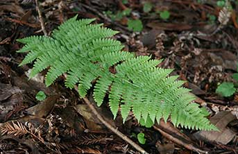 Coastal woodfern is common in the understory of redwood forests. (Credit: Tim Stephens / University of California, Santa Cruz)