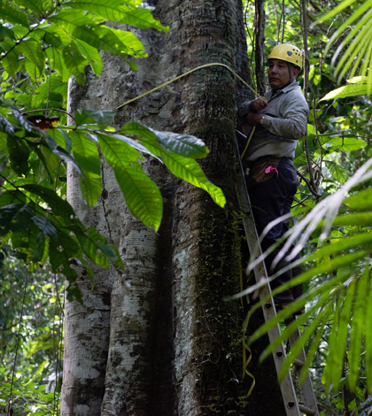 Researchres measure more than 200,000 trees every five years. (Credit: Sean Mattson / Smithsonian Tropical Research Institute)
