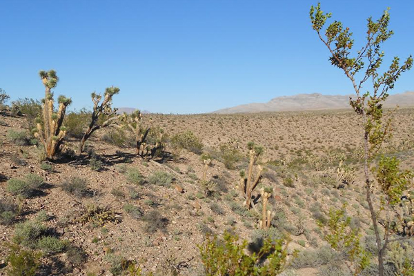 Mojave Desert in southern Utah with creosote bushes and joshua trees. (Credit: Johanna Varner / University of Utah)