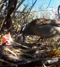 Arctic songbird nestlings may struggle as the climate becomes more extreme. (Credit: Wingfield Lab)