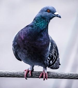 Pigeon. (Credit: Public Domain)