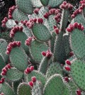 Prickly pear cactus. (Credit: Public Domain)