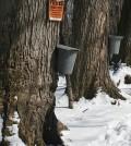 Sugar maple trees. (Credit: Public Domain)
