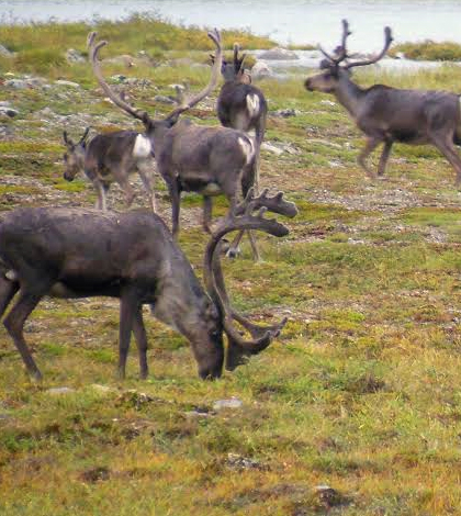 Caribou roaming the tundra near the experimental snow fence sites. (Credit: Miquel Gonzalez-Meler)