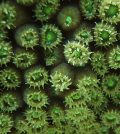 Coral polyps. (Credit: Andrea Grottoli / Ohio State University)