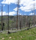 Regeneration following the Beaver Creek fire near Yellowstone National Park in 2000. (Credit: Brian Harvey)