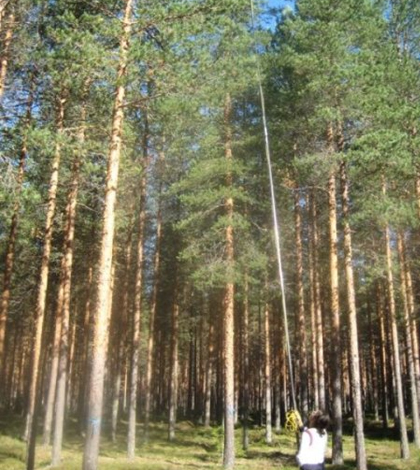Researchers collect leave samples from high up in a pine stand in northern Sweden. (Credit: Mary Heskel)