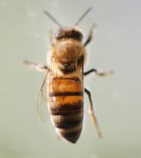 Bees rely on goldenrod pollen as a food source, but rising CO2 levels are making it less nutritious. (Credit: Tom Campbell / Purdue University)