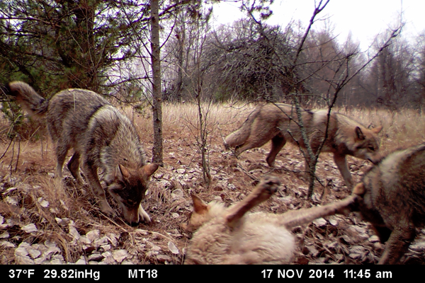 A pack of wolves visits a scent station in the Chernobyl Exclusion Zone. The photograph was taken by one of the remote camera stations and was triggered by the wolves' movement. (Credit: National Geographic / Jim Beasley / Sarah Webster)