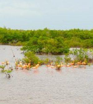 Flamingoes graze near the mangroves in Cuba. (Credit: Zapata National Park)