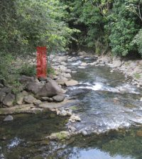 Section of the Mameyes River showing normal state. A tree is marked for reference. (Credit: University of Pennsylvania)