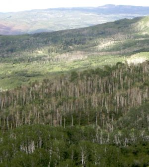 Trembling aspen trees killed by severe drought near Grand Junction, Colorado, August 2010. (Credit: William Anderegg)