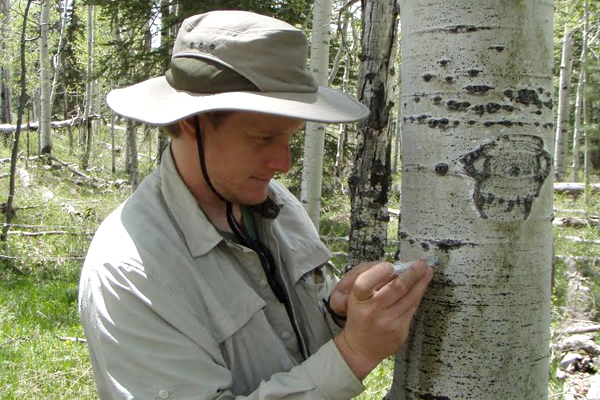 Anderegg takes measurements of plant water transport on a trembling aspen tree near Mancos, Colorado, August 2012. (Credit: William Anderegg)