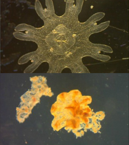 An unstressed moon jellyfish (top) compared to a severely stressed moon jellyfish (bottom). (Credit: G.M. Rand / FIU Southeast Environmental Research Center)