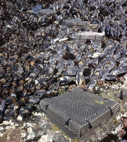 California mussels acidification
