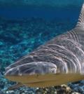 shark populations palmyra atoll