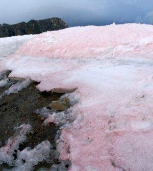 red snow algae