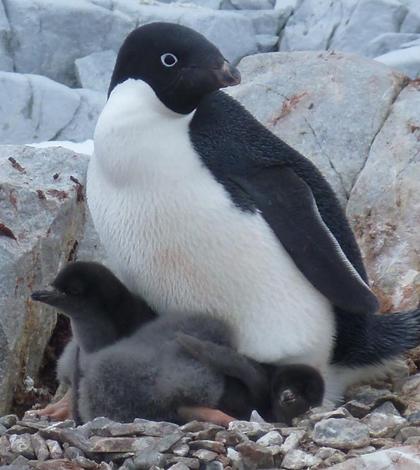 adelie penguins climate change