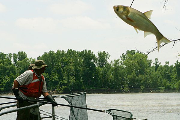 asian carp invasion risk barges